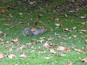 Wiewióra w Hyde Parku