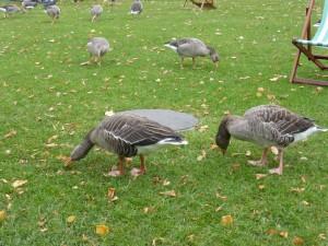 Brytyjski sposób koszenia trawników edycja Hyde Parkowa