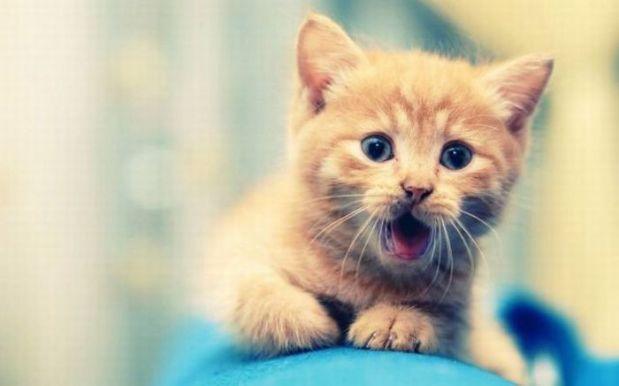 kitten wow
